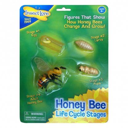 modell av honungsbiets livscykel